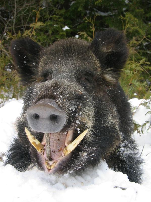 boar2b0ft.jpg